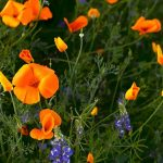 Orange California poppies and purple wildflowers blooming after a rainy winter.